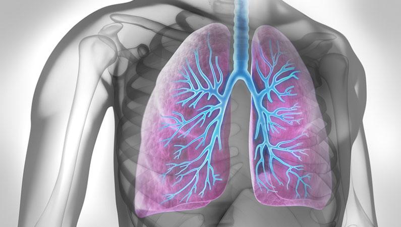 Lunge mit Bronchien